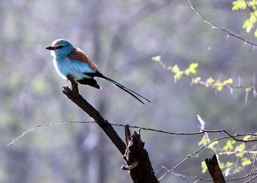 Abyssinian Roller - Awash NP