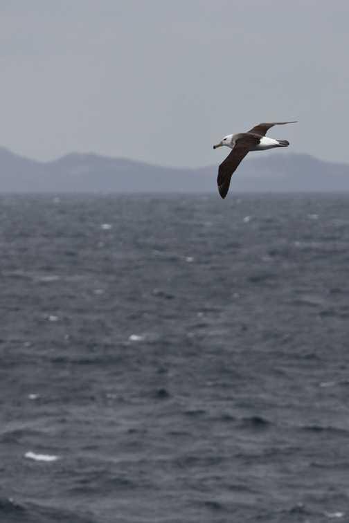 Black-browed Albatross, Drake Passage