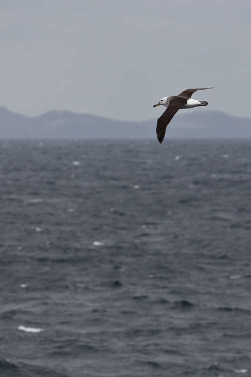Black-browed Albatross, Drake Passage