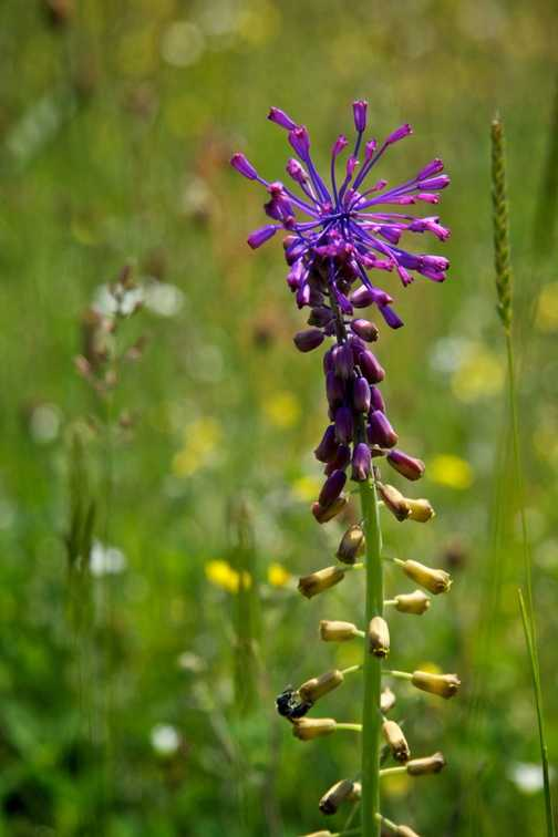 Flowers - Tassel Hyacinth
