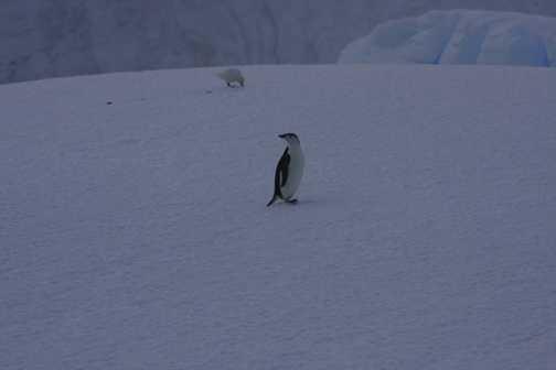 first chinstrap penguin - spert island
