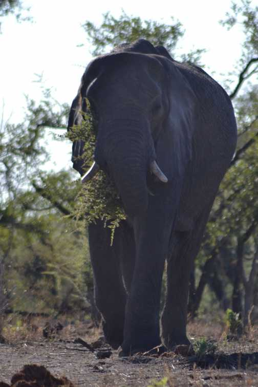 Elephant feeding by our vehicle