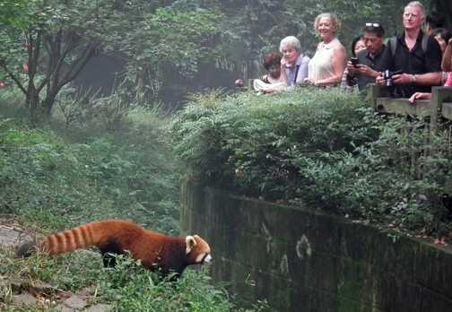 red panda onlookers
