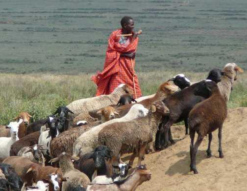 Masai goat herder, Kenya