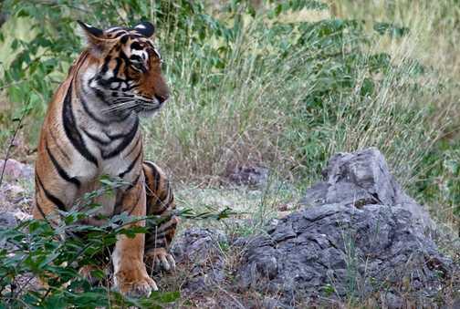 Royal Bengal Tiger, Ranthambore