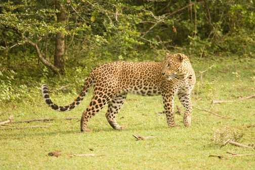 Leopard Yala National Park