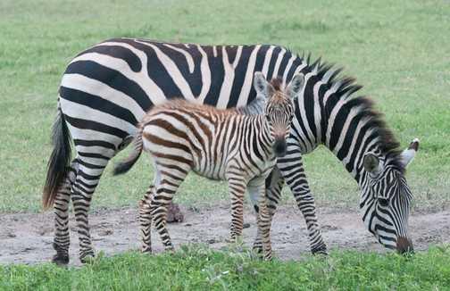 Zebra + young