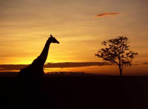 Giraffe Sunset at Goveners
