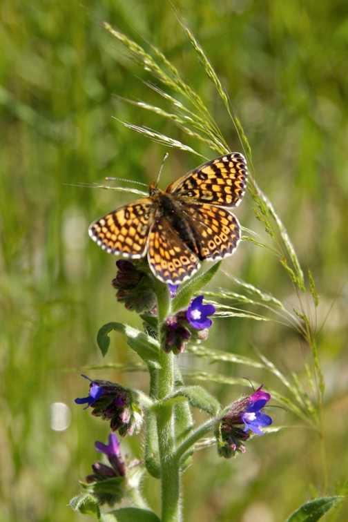 Butterflies - Glanville Fritillary