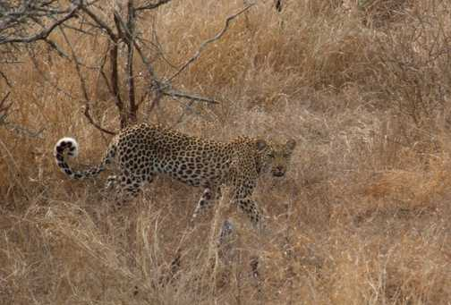 At last - a Leopard!