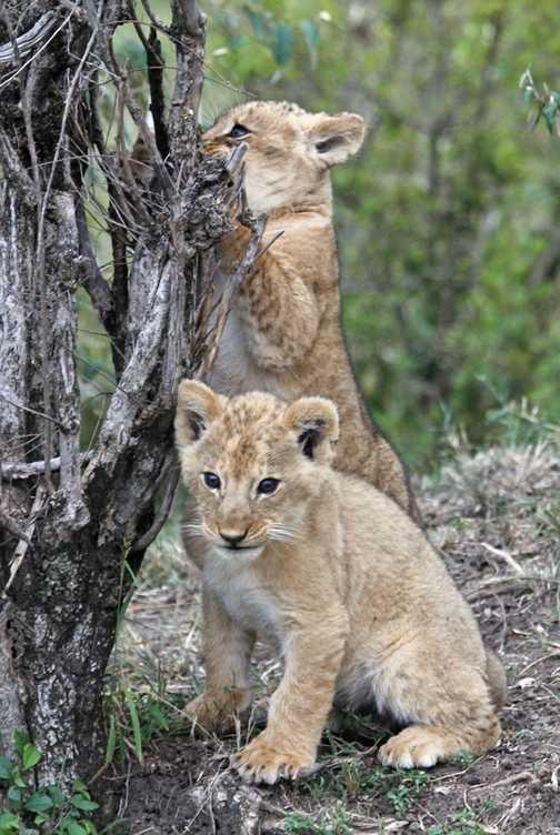 Lion cubs - 1 month old