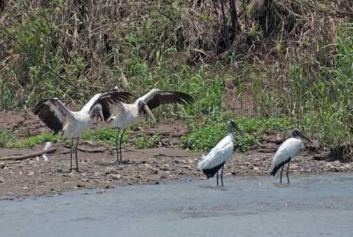 Storks at Tarcoles
