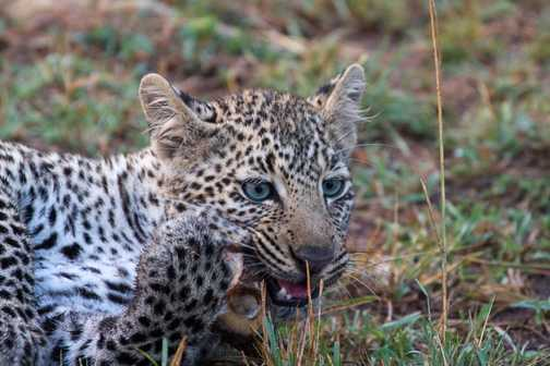 Young leopard close-up