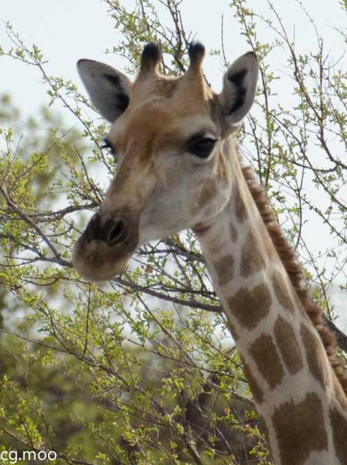 Etosha Park Giraffe