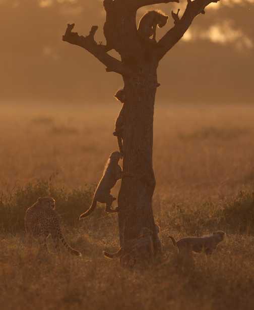 Cheetahs 8