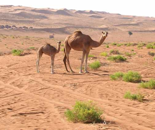 Camels, Wahiba Sands