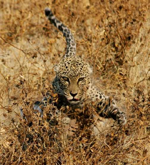 leopard disturbed with kill