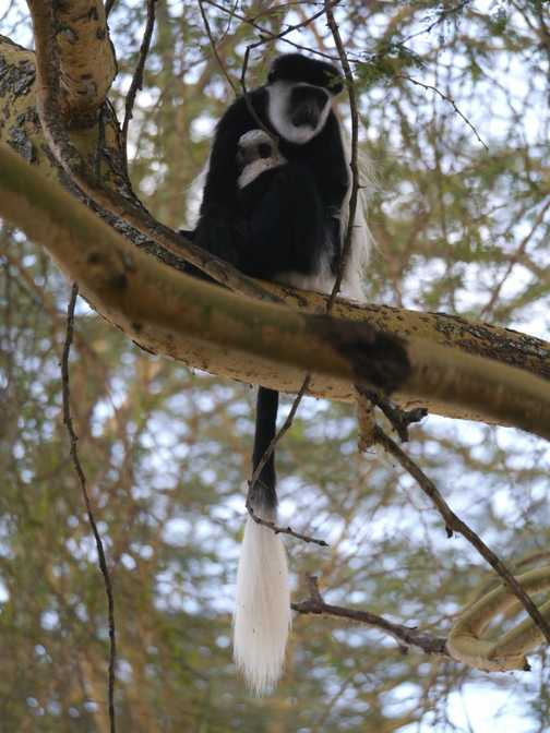 colobus monkey and baby