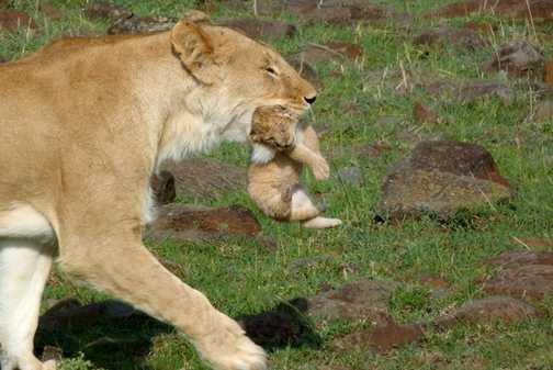 Week-old cub