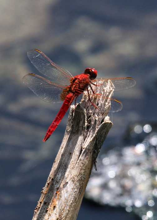 Dragonfly - Awash NP