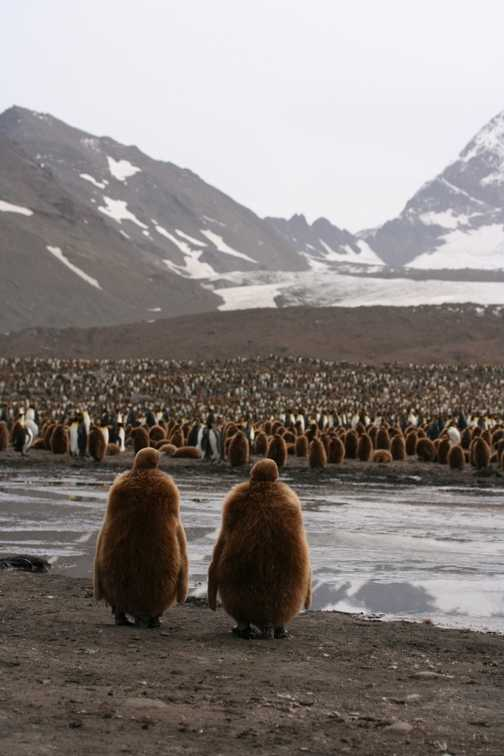 Juvenile King Penguins look out across the their colony