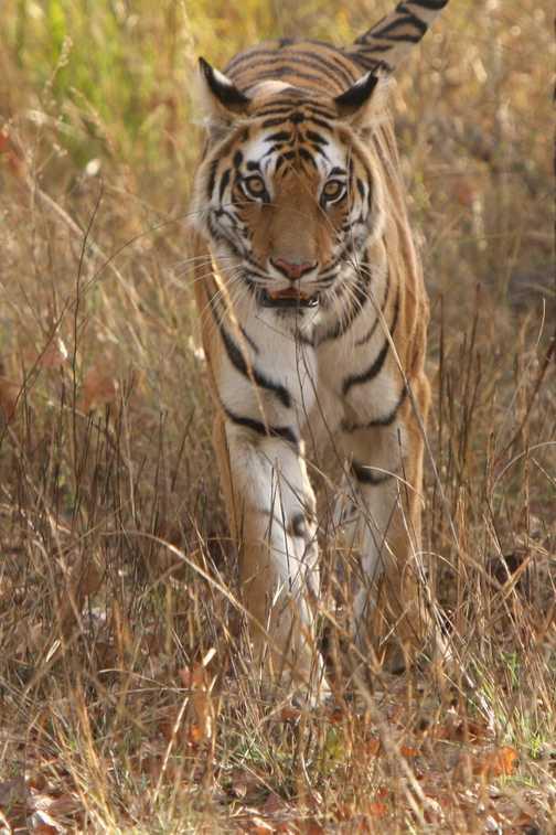 Bengal Tiger up close