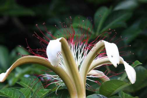Spider monkey, Tortuguero