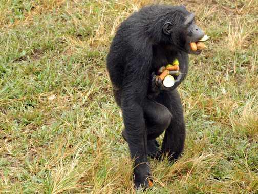Chimpanzee on Ngamba Island, Uganda