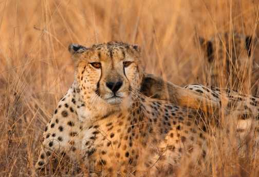 Male cheetah at Edeni