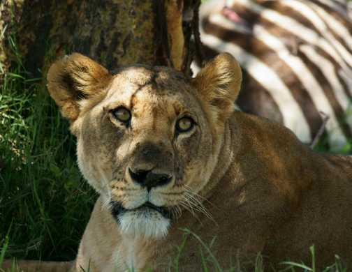 Lioness resting in the shade with kill, Lake Nakuru, Kenya