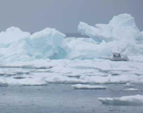 Glaucus gull flying past an iceberg