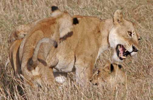 Playful lion cub annoys mother