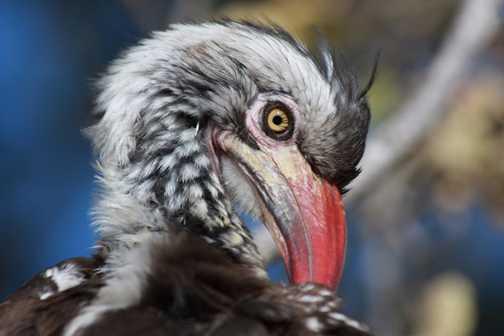 Red Hornbill