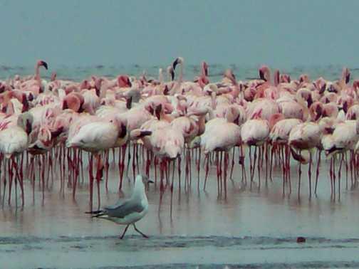 Seagull and flamingoes, Lake Nakuru, Kenya