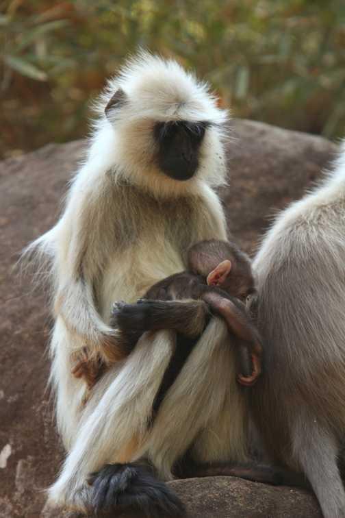 Langur Monkey and infant