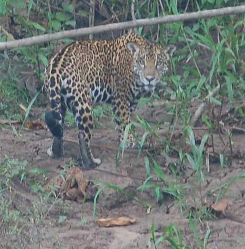 Jaguar by the river bank!