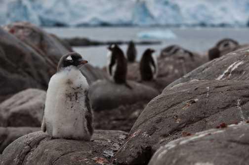 Gentoo Penguin, Port Lockroy