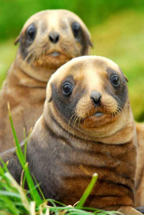 AUkland Isle : NZ Fur Seals
