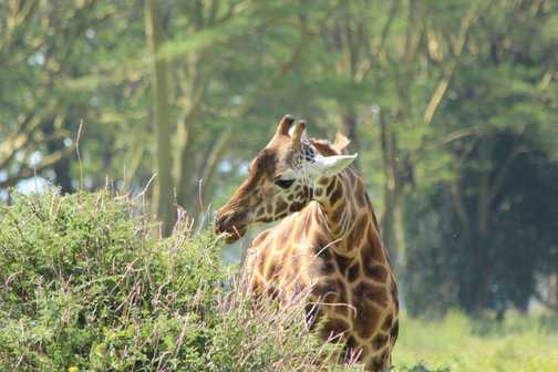 Giraffe, Lake Nakuru