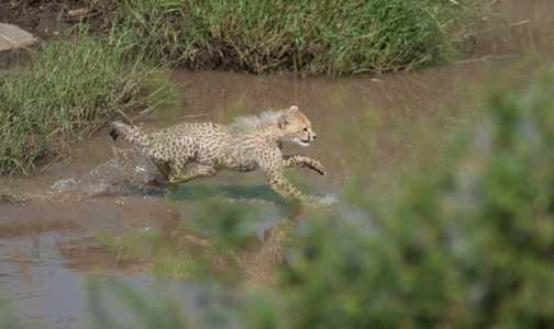 Cheetahs 6