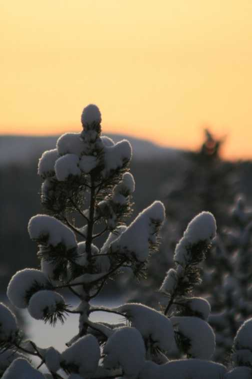 Sunset and Snow-covered Needles