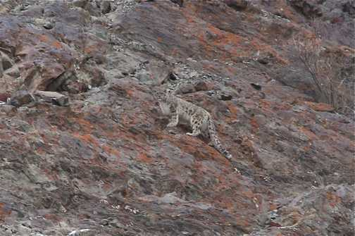 snow leopard Husing valley