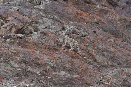 snow leopard Husing valley