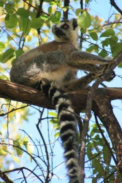 Ringtail Lemur, Isalo