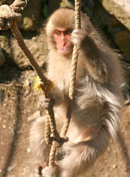 Snow Monkey 01, Yudenaka