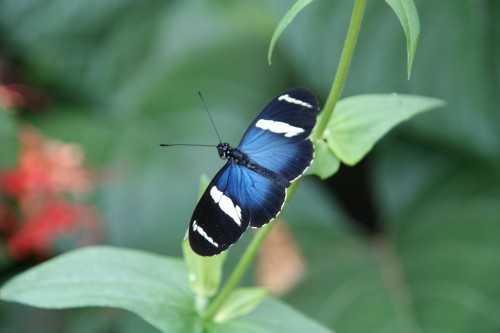 Butterfly, La Paz Waterfall Gardens