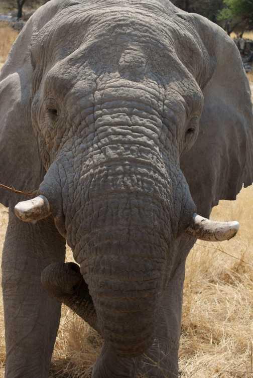 Up Close Elephant