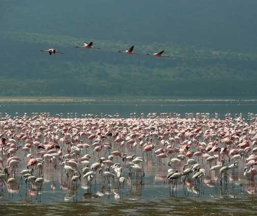 Nakuru Flamingos 1