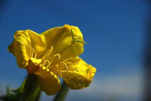 full bloom, blue sky