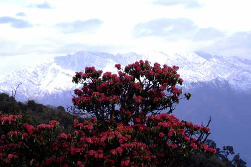 Rhododendron tree in Ghorepani